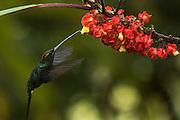 White-Whiskered Hermit (Phaethornis yaruqui)<br /> Mashpi Rainforest Biodiversity Reserve<br /> Pichincha<br /> Ecuador<br /> South America