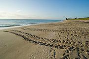 Loggerhead Sea turtle (Caretta caretta) tracks on the beach in Juno, Florida, a major nesting location for three of the seven species of sea turtles worldwide - Loggerheads, Greens and Leatherbacks.