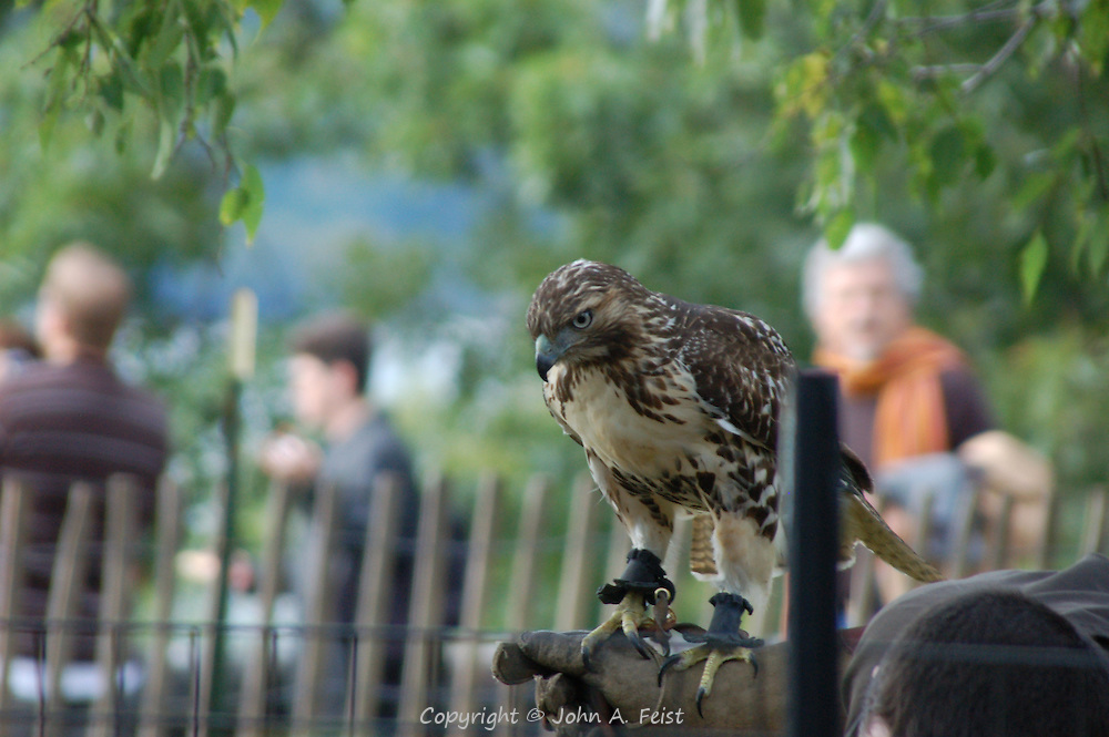 There was a medieval festival going on in Fort Tryon Park in New York City.  This falcon was part of the exhibits/activities.