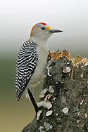 Golden-fronted Woodpecker - Melanerpes aurifrons - male