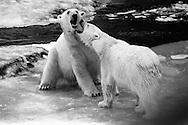 Schweden, SWE, Kolmarden, 2000: Zwei Eisbaeren (Ursus maritimus) beim spielerischen Kaempfen, sie beissen sich gegenseitig, Kolmardens Djurpark. | Sweden, SWE, Kolmarden, 2000: Polar bear, Ursus maritimus, two polar bears play fighting, biting each other, Kolmardens Djurpark. |