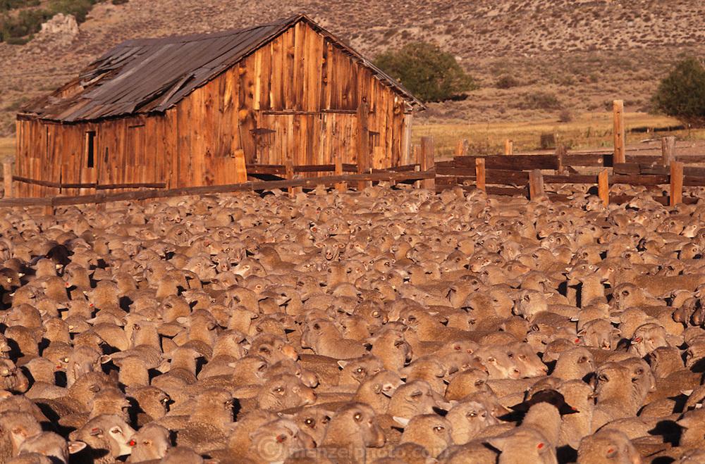 Sheep roundup at dawn. Near Mono Lake, California. Route 395: Eastern Sierra Nevada Mountains of California.