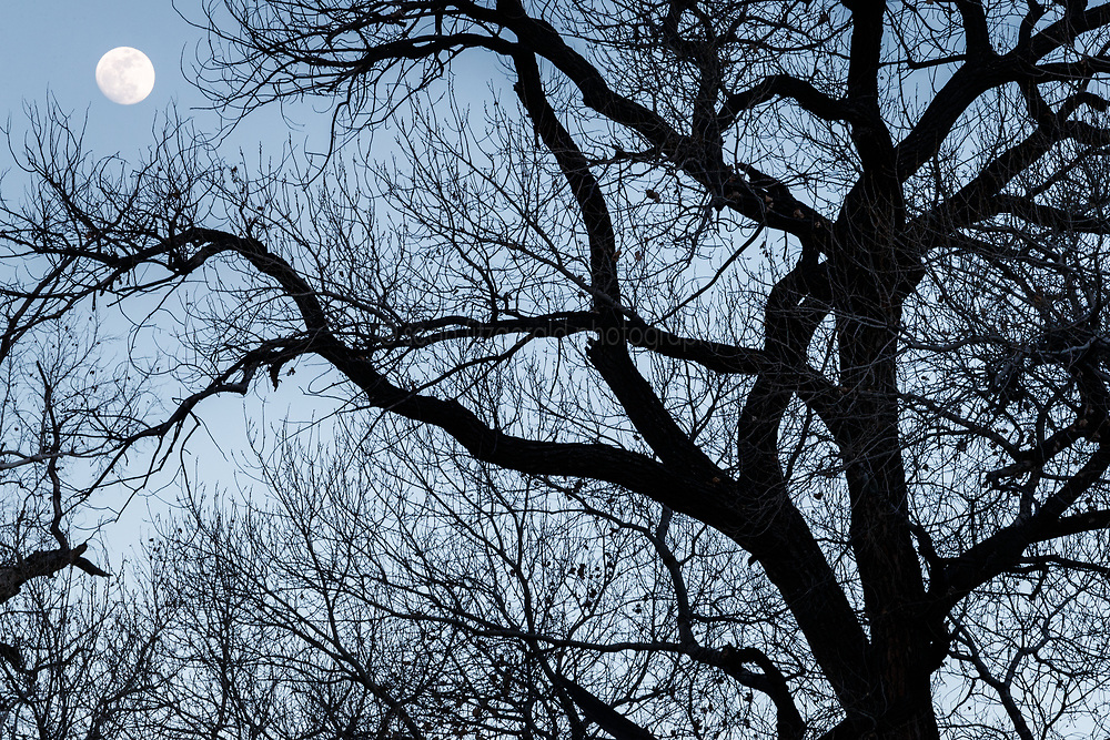 Silhouette of Arizona Sycamore trees (Platanus wrightii) and moon in winter along Animas Creek, Ladder Ranch, west of Truth or Consequences, New Mexico, USA.