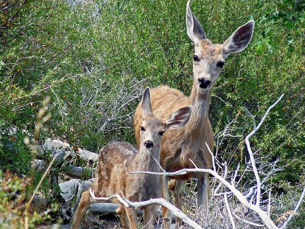 A mule deer doe and her fawn come eye-to-eye with the camera while browsing through tangled vegetation in the foothills of the Spring Mountains north of Las Vegas, Nevada.