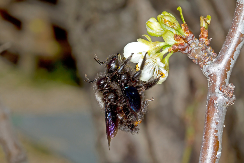 Violet Carpenter Bee - Xylocopa violacea - mating pair