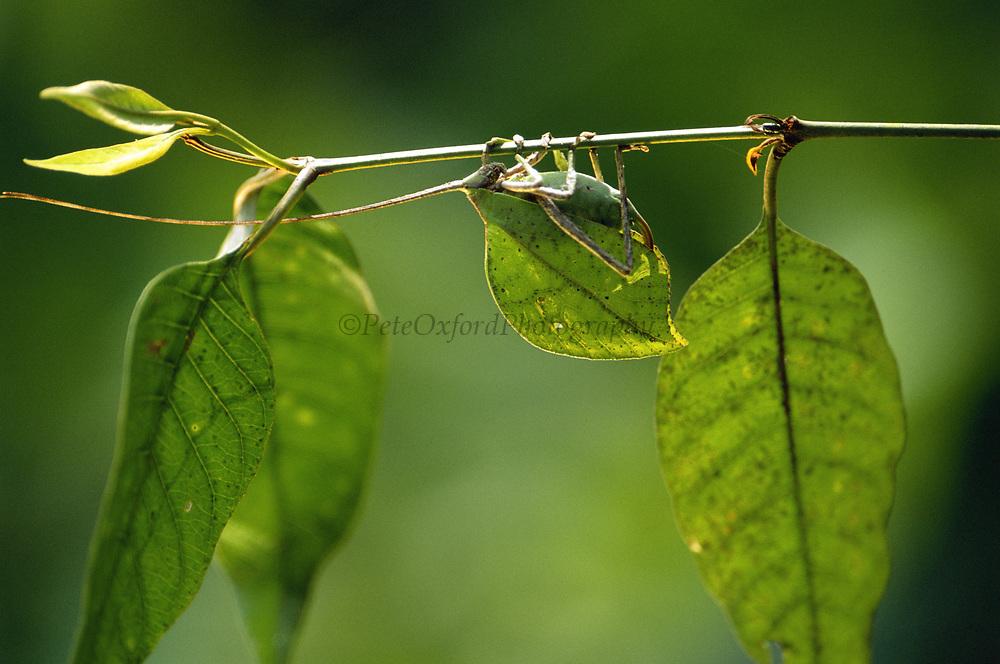 Leaf Katydid<br />Tettigoniidae cycloptera (sp)<br />Manu Cloud Forest.  Manu National Park.  PERU<br />South America