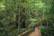 Tourist on path taking picture of green tall redwood trees Muir Woods National Monument Marin San Francisco Bay Area California Tourists looking up at large coastal redwood tree in forest, Muir Woods National Monument, Marin County, California Tourists looking up at large coastal redwood tree in forest, Muir Woods National Monument, Marin County, California