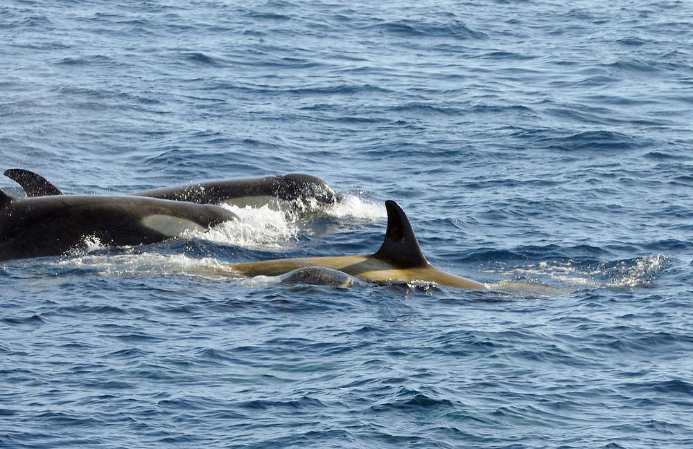 Killer whales or orcas (Orcinus orca). These are type B  Orcas. Hope Bay,  Trinity Peninsula,  Antarctic Peninsula, Antarctica. 02Mar16