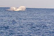 Humpback Whale Breaching 9 of 9