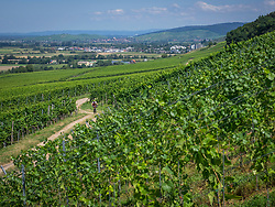 Mountain biker riding on a track through vineyards in the Southern Black Forest