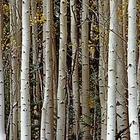 COLORADO. Telluride, Colorado. Quaking aspen trunks crowd together in San Juan Mountains.