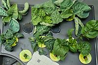 AeroGarden Farm 03 Right Tray at 28 days. R01-R03 Cauliflower; R07-R09 Kale; R10-R12 Cilantro;  Image taken with a Leica TL-2 camera and 35 mm f/1.4 lens (ISO 800, 35 mm, f/16, 1/50 sec).