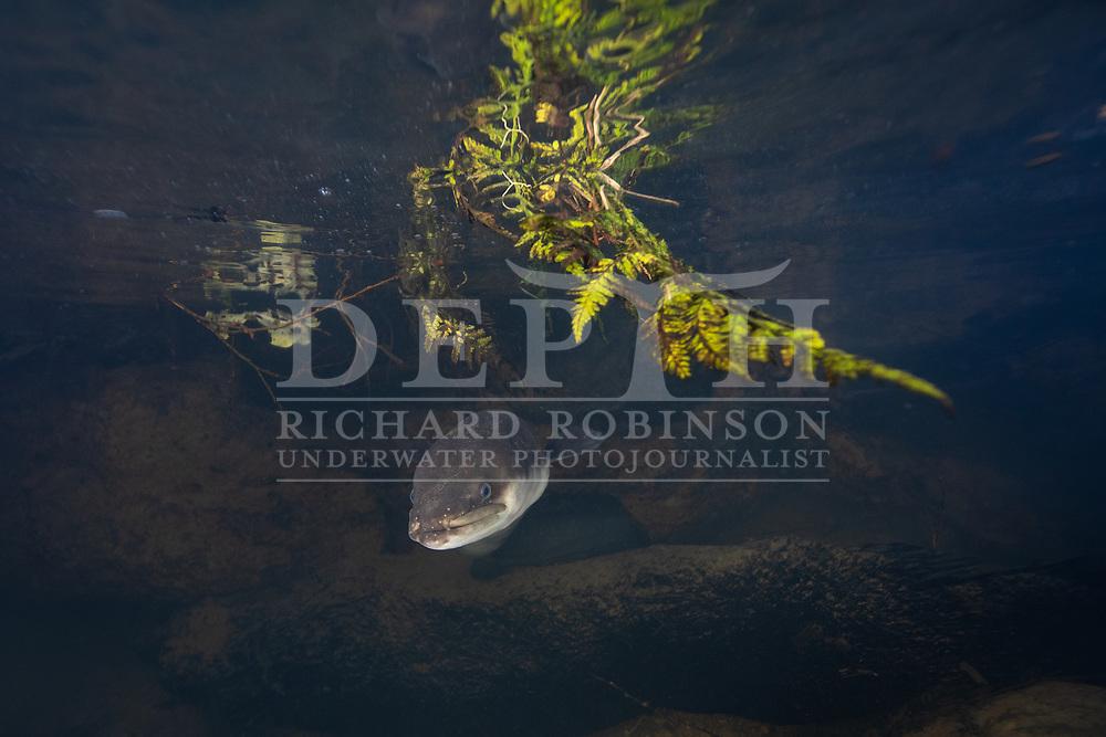 Anguilla dieffenbachii (Longfin eel) Northland, New Zealand.<br /> Friday 19 July 2019<br /> Photograph Richard Robinson © 2019
