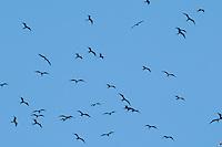 Magnificent frigatebirds, Fregata magnificens, near the mouth of the Tarcoles River, Costa Rica
