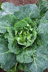 Cabbage 'Wheeler's Imperial'