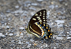 04 June 2014. Jean Lafitte National Historic Park, Louisiana.<br /> A swallowtail butterfly takes in minerals along the path at the Barataria Preserve wetlands south or New Orleans.<br /> Charlie Varley/varleypix.com