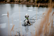 """English Setter """"Rudy"""" am 13.02. 2019 eingebrochen durch die dünnen Eisdecke im Teich von Stara Lysa, (Tschechische Republik).  Nach kurzer Rettungsaktion wurde Rudy gesund befreit. Rudy wurde Anfang Januar 2017 geboren."""