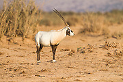Arabian Oryx (Oryx leucoryx). The Arabian oryx is a large white antelope, Almost totally extinct in the wild several groups have since been reintroduced to the wild. Photographed in Israel, Aravah desert,