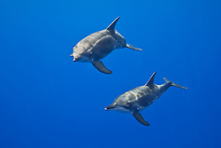 rough-toothed dolphins, Steno bredanensis, analyzing the photographer by using impulse-type (click-type) sonar for precise echolocation and imaging, mother and calf, Kona Coast, Big Island, Hawaii, USA, Pacific Ocea