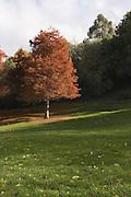 Autumn Conifer, Tasmania