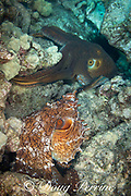 day octopuses ( big blue octopus ), Octopus cyanea, mating; male, lower, flashes color display and extends dark hectocotyl arm or hectocotylus toward female, upper, to deposit spermatophores into her mantle; Kohanaiki, North Kona, Hawaii Island ( the Big Island ), Hawaiian Islands, U.S.A. ( Central Pacific Ocean )