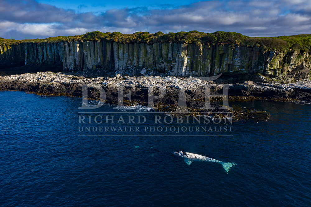 A mother tohorā and her white calf rest in the kelp beneath the basalt cliffs of Enderby Island, Port Ross. Pregnant females travel thousands of kilometres to breed in these waters, far from human interference. The population of southern right whales has grown dramatically from as few as 13 breeding females.<br /> Shot on assignment for New Zealand Geographic Issue: 166 November December 2020.<br /> Read the Feature: https://www.nzgeo.com/stories/the-whales-are-back/<br /> Photograph Richard Robinson © 2020.<br /> Rights managed image. No Reproduction without prior written permission.