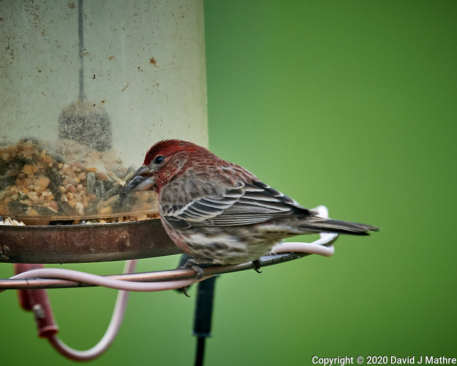 Male House Finch. Image taken with a Nikon D5 camera and 600 mm f/4 VR lens (ISO 1000, 600 mm, f/5.6, 1/1250 sec)
