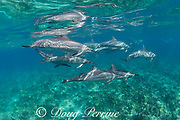 Hawaiian spinner dolphins or Gray's spinner dolphin, Stenella longirostris longirostris, swim over a shallow coral reef, South Kohala Coast, Hawaii ( the Big Island ), USA ( Central Pacific Ocean )