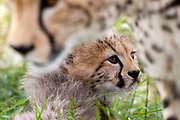 Portrait of a cheetah cub( Acinonyx jubatus), resting and protected by his mother.