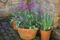 Erysimum 'Bowles's Mauve' AGM syn. Erysimum linifolium glaucum, E. linifolium 'Bowles' Mauve' growing in a pot with Tulipa 'Black Parrot'. Wallflower and tulip.