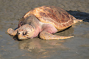 Lady, a rehabilitated loggerhead sea turtle crawls back into the Atlantic Ocean during a release June 30, 2016 in Isle of Palms, South Carolina. The turtle was found severely emaciated and spent a year in rehabilitation at the South Carolina Aquarium sea turtle hospital in Charleston.