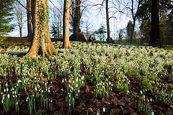 © Licensed to London News Pictures 28/01/2016, Cheltenham, UK. Sunshine bathes Colesbourne Park's Snowdrop collection, near Cheltenham, UK. The Park opens its doors to the public this weekend January 30th. The Park contains over 250 rare and unusual varieties of snowdrop and is considered to be England's greatest snowdrop garden.