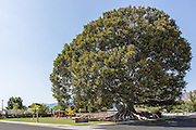 Big Tree Park in Glendora California