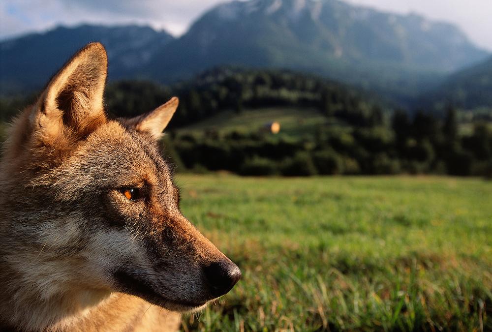 Eurasian Wolf, Canis lupus, Transsylvania, Romania, captive