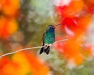 Broad-billed Hummingbird (Cynanthus latirostris) male, defending a favored feeding location from other hummingbirds (Tucson, Arizona)