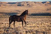 Wild mustang band stallion