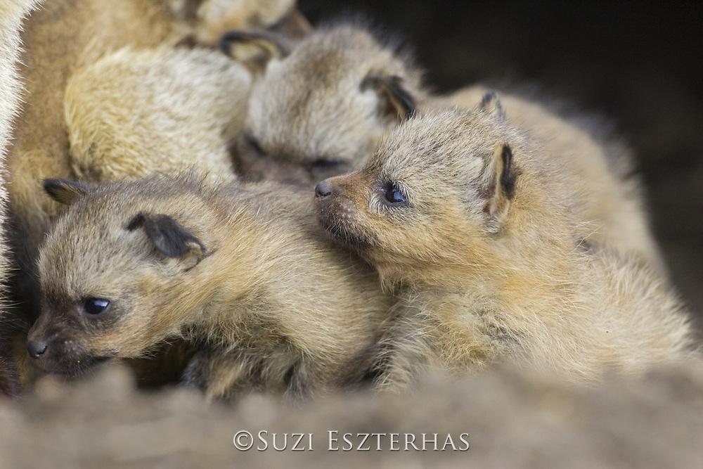 Bat-eared fox<br /> Otocyon megalotis<br /> 15 day old pup(s) in den<br /> Masai Mara Reserve, Kenya