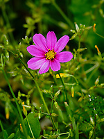 Cosmos flower.  Image taken with a Fuji X-H1 camera and 200 mm f/2 OIS lens + 1.4x teleconverter (ISO 200, 280 mm, f/5.6, 1/640 sec).