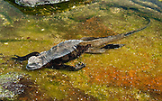 A Galapagos Marine Iguana (Amblyrhynchus cristatus) rests in a tide pool at Puerto Egas, which can be visited via a wet landing on Santiago (or San Salvador; or James Island), in the Galápagos Islands archipelago, a province of Ecuador, South America. The Marine Iguana is the world's only sea-going lizard and is found only on the Galapagos Islands (spread throughout the archipelago). They feed almost exclusively on marine algae, expelling the excess salt from nasal glands while basking in the sun, coating their faces with white. Marine Iguanas live on the rocky shore or sometimes on mangrove beaches or marshes. Most adults are black, some grey, and the young have a lighter colored dorsal stripe. The somber tones allow the species to rapidly absorb the warm rays of the sun to minimize the period of lethargy after emerging from the frigid water, which is cooled by the Humboldt Current. Breeding-season adult males on the southern islands are the most colorful and will acquire reddish and teal-green colors, while Santa Cruz males are brick red and black, and Fernandina males are brick red and dull greenish. The iguanas living on the islands of Fernandina and Isabela (named for the famous rulers of Spain) are the largest found anywhere in the Galápagos. The smallest iguanas are found on Genovesa Island. Santiago is equivalent to Saint James in English; and its alternative name San Salvador refers to the island discovered by Columbus in the Caribbean Sea.