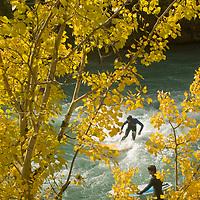 River wave surfer rides under fall-colored aspens beside  Kananaskis River, Kananskis Provincial Park, near Banff and Calgary, Alberta, Canada
