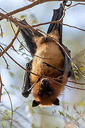 Indian flying fox (Pteropus giganteus) resting in a tree during day time. Photo from Chanoud, Rajasthan, India.