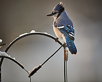 Blue Jay. Image taken with a Nikon D5 camera and 600 mm f/4 VRII lens (ISO 1400, 600 mm, f/4, 1/1250 sec)