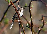 Song Sparrow (Melospiza melodia) perched in tree, Annapolis Royal Marsh, French Basin trail, Annapolis Royal, Nova Scotia, Canada