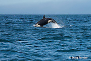 southern resident orca, or killer whale, Orcinus orca, porpoising out of the water, off southern Vancouver Island, Strait of Juan de Fuca, British Columbia, Canada ( Eastern North Pacific Ocean ); #2 in sequence of 4