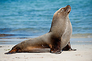 Male Australian Sea Lion (Neophoca cinerea) basks in the sun on the beach in Hopkins Island, South Australia.