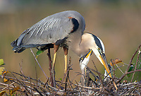 Great Blue Heron Ardea herodias on nest with chicks Wakodahatchee Wetlands Delray Beach Florida USA
