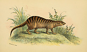 Broad-banded Cusimanse (Crossarchus fasciatus) From the book ' A handbook to the carnivora : part 1 : cats, civets, and mongooses ' by Richard Lydekker, 1849-1915 Published in 1896 in London by E. Lloyd