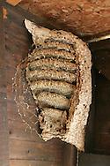 Hornet - Vespa crabro nest