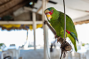 A pet parrot at a restaurant on Cabo Sagara beach at La Barra de Sontecomapan, Veracruz, Mexico. The lagoon which flows into the Gulf of Mexico is one of the best preserved coastal wetlands and mangroves forests in Mexico and part of the Los Tuxtlas biosphere reserve.