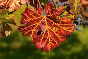 A petit verdot leaf in autumn colours colors red and yellow - Château Pey la Tour, previously Clos de la Tour or de Latour, Bordeaux, France
